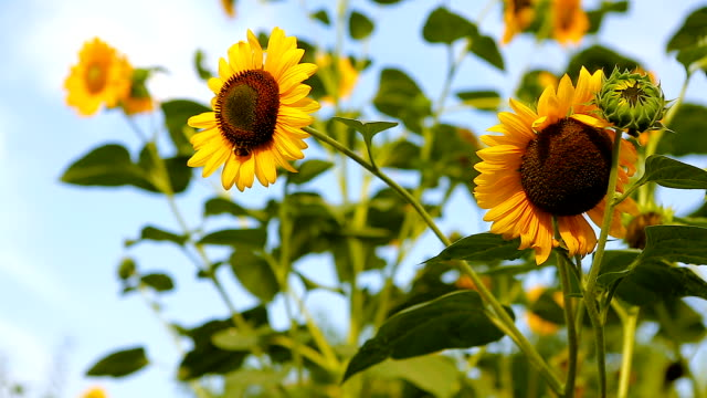 Sunflowers in full bloom, In windy weather, at sunset. Bumblebee working on Sunflower. video