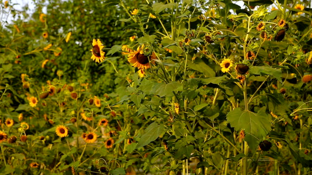 Sunflowers in full bloom, In windy weather, at sunset. video