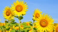 Sunflowers in the Fields at Spring Season video