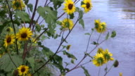 Sunflowers Over Water video
