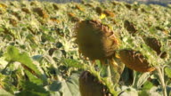 Sunflowers Ready For Harvest video