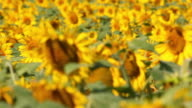 Sunflowers video
