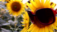 Sunflowers with glasses in a funny scene video
