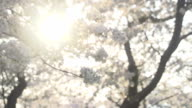 Sunlight Coming Through Cherry Blossoms video