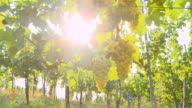 HD DOLLY: Sunlight Coming Through Vineyard video