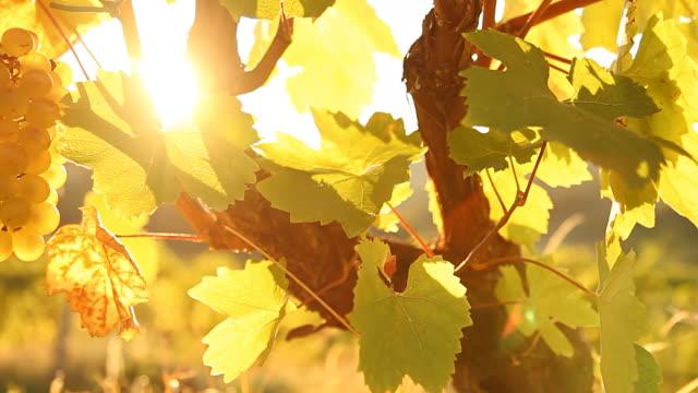 HD DOLLY: Sunlight Coming Through Vineyard video