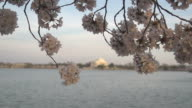 Sunlight Filtering Through Cherry Blossoms video