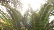 Sunlight flashes through the leaves of the palm. video