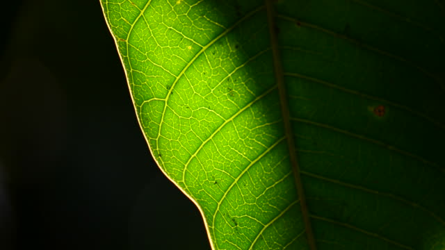 Sunlight green leaf video