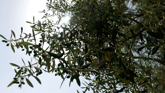 Sunlight Hiding Behind Top of Olive Tree video