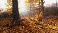 SLO MO Sunlight illuminating autumn forest video