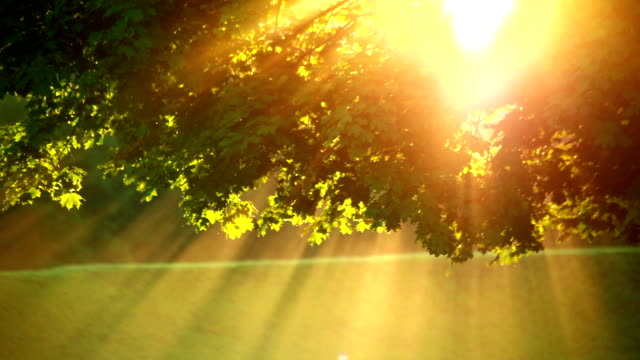 Sunlight in the maple leaves video
