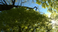 LOW ANGLE VIEW: Sunlight penetrating through green tree canopies and branches video