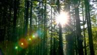 Sunlight through dense Forest video