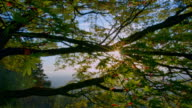 Sunlight through Japanese Maple Tree in spring video