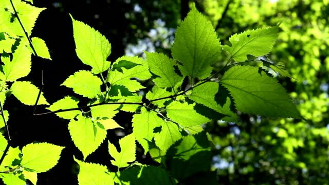 sunlight through the fresh green leaves video