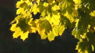 Sunlight Through Yellow Leaves video