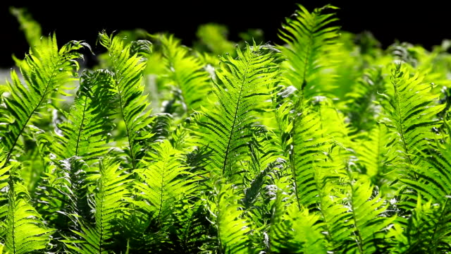 Sunlighted Fern Swaying In The Wind video