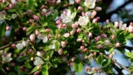 Sunlit apple blossom trusses with pink buds and new green leaves, trembling in the spring light wind. video