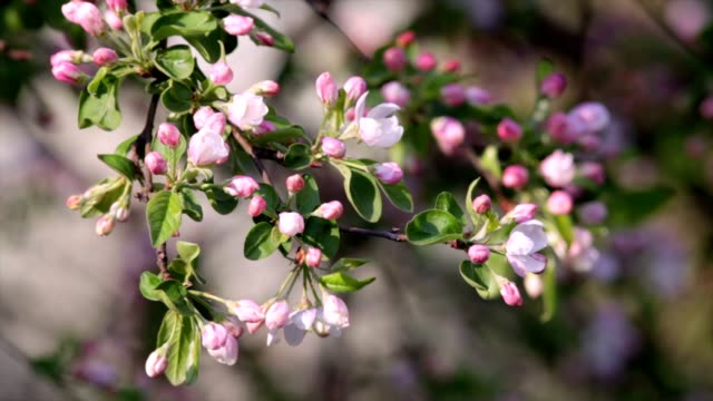 Sunlit apple blossom trusses with pink buds and new green leaves, trembling in the spring light wind on blur background. video