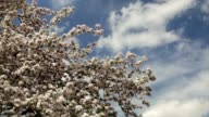 Sunlit apple branches with splendid pink blossom on blue sky. video