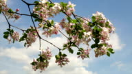 Sunlit apple pink blossom branch, waving on blue and clouded sky background. video