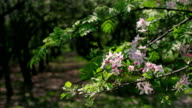 Sunlit apple pink blossom branch with garden tree lines on blurred background. video