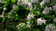 Sunlit apple pink blossom twigs, trembling on spring light wind. video