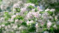 Sunlit apple pink blossom twigs, waving on spring light breeze. video