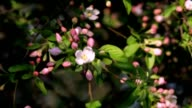 Sunlit apple twig with pink blossom buds and new leaves, trembling in the spring light wind on blur background. video