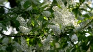 Sunlit bird cherry white blossom trusses and new green leaves, waving in the spring light wind on blur bright green background. video