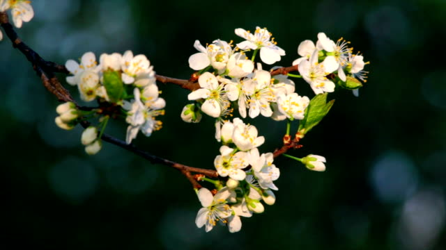 Sunlit cherry blossom branch with white petals, yellow stamens and new green leaves, waving in the spring wind in soft sunset light. video