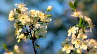 Sunlit cherry blossom twig with white petals, yellow stamens and new green leaves, waving in the spring wind in soft sunset light. video