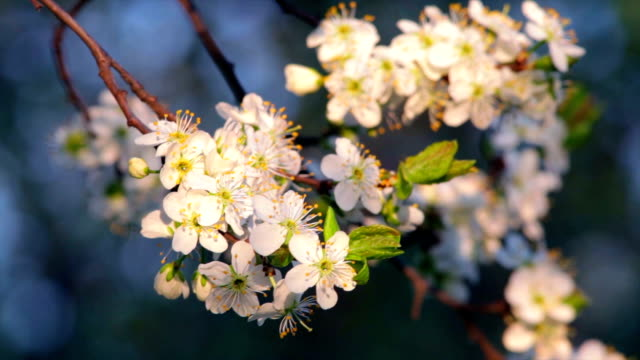 Sunlit cherry blossom with white petals, yellow stamens and new green leaves, waving in the spring wind in soft sunset light. video