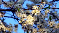 Sunlit cherry white blossom with yellow stamens and new tiny green leaves, waving in the spring wind on blue sky background. video