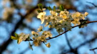 Sunlit cherry white blossom with yellow stamens and new tiny green leaves, waving in the spring light wind on blue sky background. video