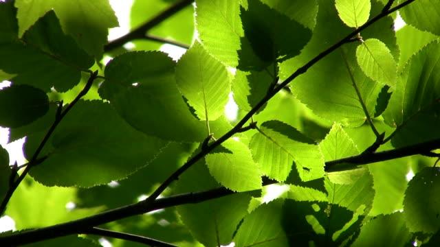 Sunlit Leaves. video