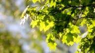 Sunlit maple branch with new green leaves and young ash keys. video
