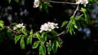 Sunlit pear blossom with new leaves, shaking in the spring light wind on dark background. video