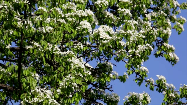 Sunlit pear blossom with new leaves, trembling in the spring light wind on dark background. video