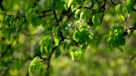 Sunlit pear branch with blossom truss and new leaves, trembling in the spring light wind. video