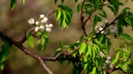 Sunlit pear branch with white blossom trusses and new green leaves, waving in the spring light wind on blur background. video