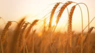 HD DOLLY: Sunlit Wheat Stalks At Sunset video