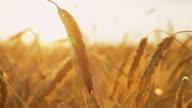 HD DOLLY: Sunlit Wheat Stalks video