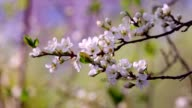 Sunlit white cherry blossom trusses with yellow stamens and new green leaves. video