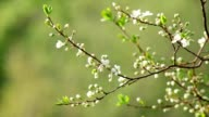 Sunlit white cherry blossom with new green leaves. video
