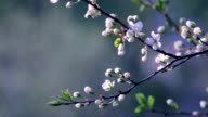 Sunlit white cherry blossom with new green leaves, waving in the spring light wind. video