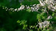 Sunlit white cherry blossom with new leaves, waving in the spring light wind on blur green background. video