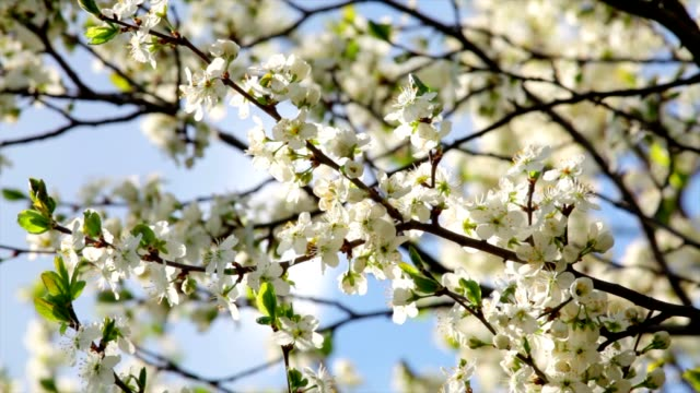 Sunlit white cherry blossom with pink stamens and new green leaves. video