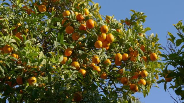 sunny day close up view on mandarin tree 4k video